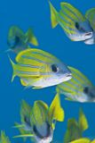 Close-up Of A Of Blue-striped Snapper. Royalty Free Stock Photos