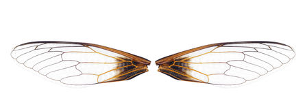 Close Up Of A Pair Of Cicada Stock Photography
