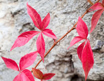 Free Close-up Of A Red Ivy Leaves Stock Photo - 16321330