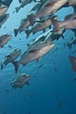 Close-up Of A School Of Twinspot Snappers. Royalty Free Stock Photos