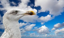Free Close-up Of A Seagull Stock Photo - 1812040