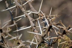 Free Close Up Of A Thorn Bush In Pilanesberg National Park Royalty Free Stock Image - 108851736