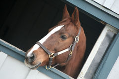 Close Up Of A Thoroughbred Horse Royalty Free Stock Photos