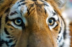 Close-up Of A Tiger Stock Photography