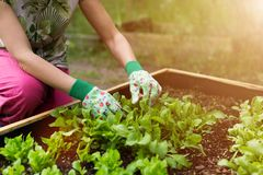 Free Close Up Of A Woman Gardening Royalty Free Stock Image - 148246926