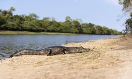 Free Close Up Of A Yacare Caiman On A River Bank Stock Image - 167246021