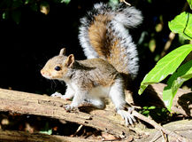 Free Close Up Of A Young Grey Squirrel Stock Photography - 80899052