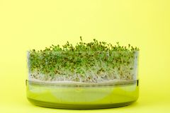 Free Close Up Of Alfaalfa Microgreens Sprouts On Yellow Background Royalty Free Stock Photos - 108165268
