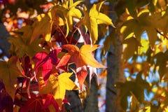 Free Close Up Of American Sweetgum Liquidambar Styraciflua Autumn Colored Leaves Illuminated By Sunlight; Fall Concept Royalty Free Stock Image - 160795476