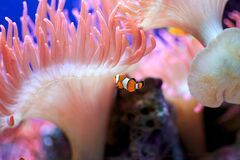 Free Close Up Of An Clownfish And Pink Anemone Fish Royalty Free Stock Photos - 195894978