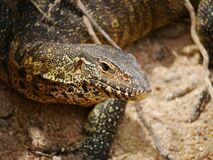 Free Close-up Of An Nile Monitor Or Lizard Varanus Niloticus Next To A River In Kruger Nationalpark Stock Photography - 173766112