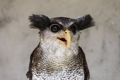 Free Close-up Of An Owl With A Crazy And Funny Face Expression Royalty Free Stock Images - 111004259