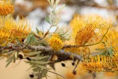 Free Close Up Of Australian Grevellia Stock Images - 90587574