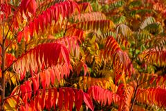 Free Close Up Of Autumn Colorful Red And Green Trees And Staghorn Sumac Leaves Rhus Hirta Syn. Rhus Typhina Stock Photo - 161525830