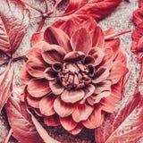 Close Up Of Autumn Dahlia Bloom, Top View Stock Photos