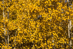 Free Close Up Of Autumn Yellow Quaking Aspen Leaves Royalty Free Stock Images - 45691909