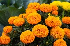 Free Close-up Of Beautiful Marigold Blossom Stock Photos - 156675413