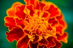 Free Close Up Of Beautiful Marigold Flower Or Tagetes Erecta, Mexican, Aztec Or African Marigold In The Garden. Macro Of Marigold In Stock Image - 154918151