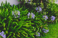 Close-up Of Beautiful Subtropical Agapanthus Lily Of The Nile Pl Royalty Free Stock Photo