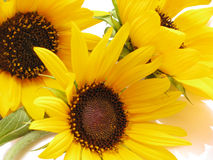 Free Close Up Of Beautiful Sunflowers Royalty Free Stock Photos - 10861098