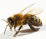 Free Close Up Of Bee Royalty Free Stock Photography - 7094887