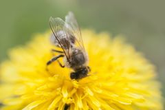 Free Close Up Of Bee Collecting Honey On A Yellow Flower Dandelion Against Soft Defocused Green Background Stock Photo - 147019740