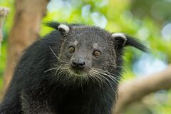 Free Close Up Of Binturong Face Looking Into A Distance Royalty Free Stock Images - 215189279
