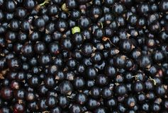 Free Close-up Of Black Currants Royalty Free Stock Photos - 5587798