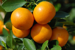 Close Up Of Branches With Ripe Tangerines Royalty Free Stock Image