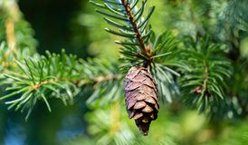 Free Close-up Of Brown Ripe Pine Cone On Branch Of Picea Omorika On Green Blurred Background. Sunny Day In Autumn Garden Royalty Free Stock Photography - 164075997