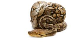 Close Up Of Burmese Python Royalty Free Stock Photo