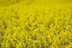 Free Close Up Of Canola Or Rapeseed Royalty Free Stock Image - 115679666