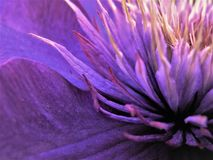 Close Up Of Center Of Multi Blue Clematis Flower