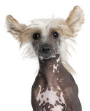 Close-up Of Chinese Crested Puppy Royalty Free Stock Photo