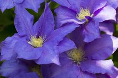 Free Close Up Of Clematis General Sikorski Royalty Free Stock Images - 152318929