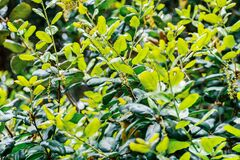 Free Close Up Of Coast Live Oak New Leaves And Inflorescence Quercus Agrifolia, San Francisco Bay Area, California Royalty Free Stock Image - 177315656