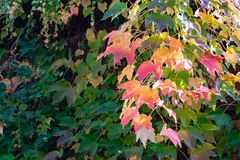 Close-up Of Colorful Parthenocissus Tricuspidata `Veitchii` Or Boston Ivy, Grape Ivy, Japanese Ivy Or Japanese Creeper Stock Photo