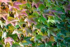 Close-up Of Colorful Parthenocissus Tricuspidata `Veitchii` Or Boston Ivy, Grape Ivy, Japanese Ivy Or Japanese Creeper Royalty Free Stock Photo