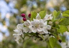 Free Close Up Of Crab Apple Malus `Evereste` Fresh Flower Cluster And Deep Pink Buds On Tree Branch. Royalty Free Stock Images - 193314739