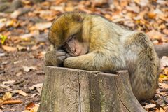 Free Close-up Of Cute Barbary Ape Monkey Macaca Sylvanus Stock Photo - 115372360