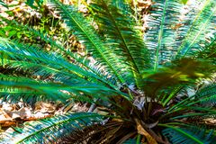 Close Up Of Cycas Siamensis Miq Stock Images