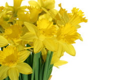 Close-up Of Daffodils Royalty Free Stock Photography