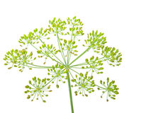 Close-up Of Dill
