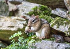 Free Close-up Of Eastern Chipmunk Holding Acorn Royalty Free Stock Image - 194231046