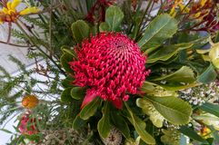 Free Close Up Of Flower Arrangement With Red Waratah Flower With Green Leaves Stock Photos - 146090193