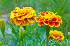 Close Up Of French Marigold Flower Royalty Free Stock Photos