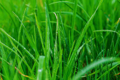 Free Close Up Of Fresh Morning Dew On Spring Grass Stock Images - 91083214