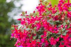 Close Up Of Fuchsia Flowers (Onagraceae Salvia Splendens) Royalty Free Stock Photos