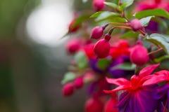 Free Close Up Of Fuchsia Flowers (Onagraceae Salvia Splendens) Royalty Free Stock Photography - 56971037