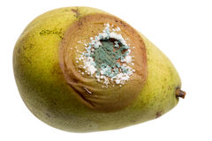 Close Up Of Fungus Growing On Pear